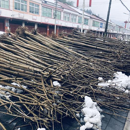 漢中城固縣 七葉樹,工程綠化苗木樹大小都