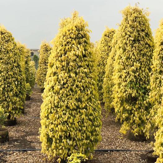 揭阳普宁市金叶垂叶榕 金叶垂榕1.5-3米高柱形袋苗 四季常青大量现货供应