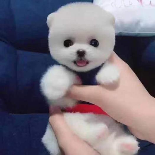 衢州江山市博美犬 博美,比熊,泰迪贵宾的等多种宠物犬随时欢迎大家来打扰