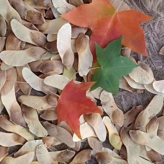 泰安泰山区 五角枫种子,纯新货,产地直供,出芽率高