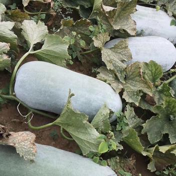 海南各地区大量供应二十斤起白皮冬瓜,需要联系