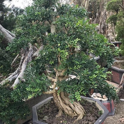 揭陽普寧市 九里香大盆景造型樹 四季常青 現貨供應 可現場看貨