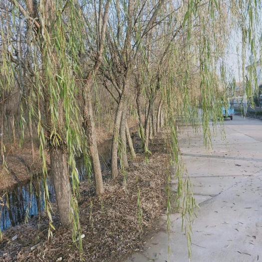 宿遷沭陽縣 基地直銷垂柳綠化苗木南北方種植