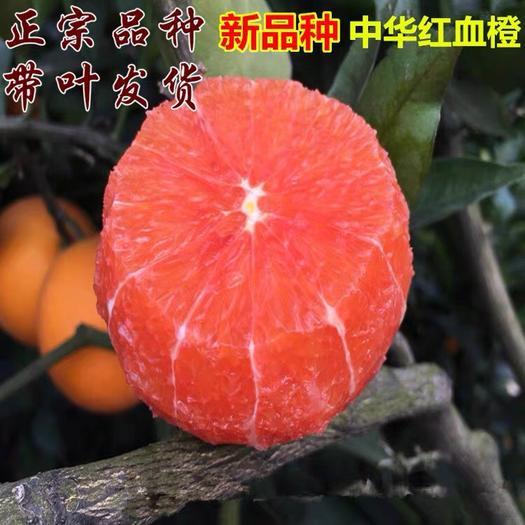 临沂平邑县 中华血橙苗 橙子树苗  产量高 保证品种 死苗补发 包对版
