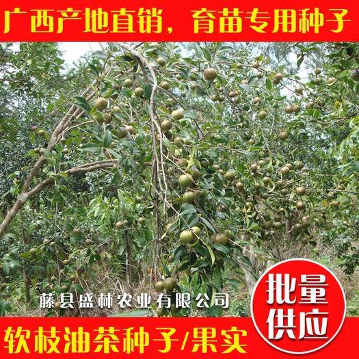 梧州藤县白茶种子 软枝油茶种子 广西白花油茶籽