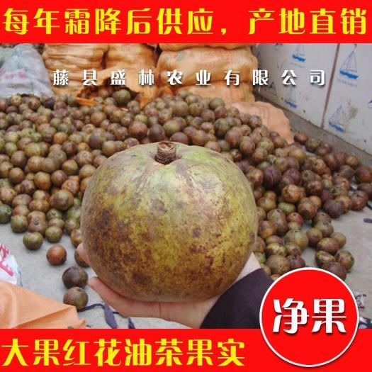 梧州藤县油茶种子 油茶果 大果红花油茶果实净果