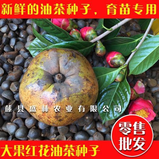 梧州藤县 大果红花油茶籽,红花油茶种子