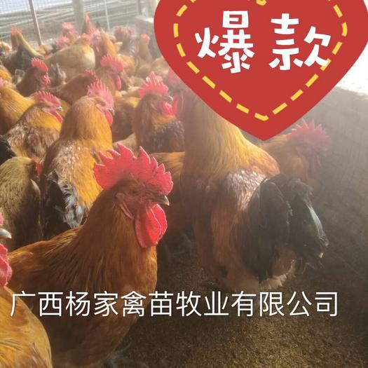 南寧武鳴區 (熱賣)大種青腳麻雞苗  麻雞苗 快大型雞苗  孵化場直供