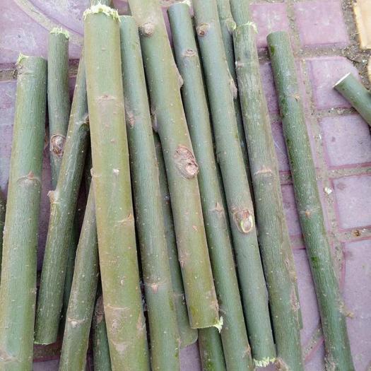 菏澤單縣 養殖金蟬,美國速生竹柳3號,柳樹段大量出售