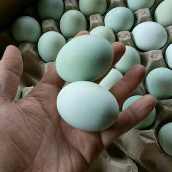 绿壳蛋  绿壳鸡蛋420枚装产地直发10箱以上谈价格江浙沪皖赣今发明到