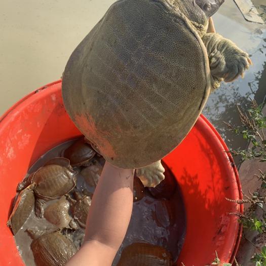 揭阳揭东区 外池塘黄甲鱼1斤到3斤批发价运到包活