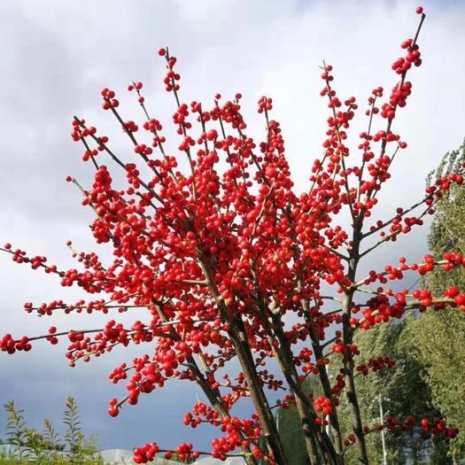 泰安岱岳區 北美冬青苗20公分到30公分 基地直供 扦插 盤穴 切枝綠化