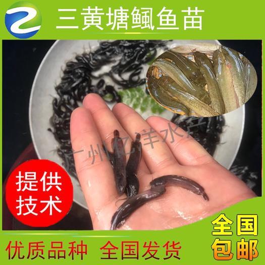 廣州 雜交三黃塘鲺 本地塘鲺 塘角魚苗(高產易養快大) 全國發貨