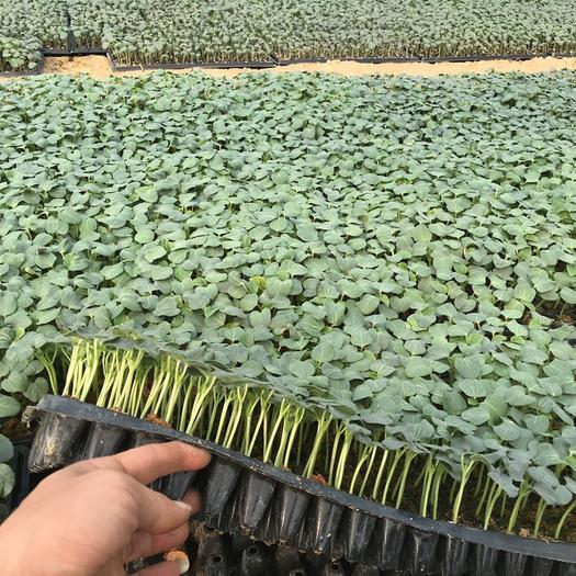 龙海市黄秋葵种苗 精心培育 优质种苗