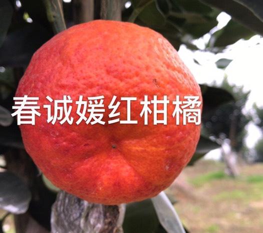 眉山 媛红柑桔枝条-假一赔十、包邮、基地直供、可签合同