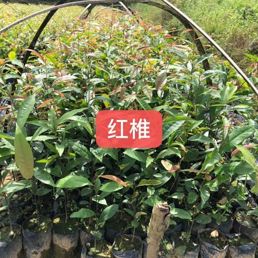 广州红椎树苗 造林苗木红椎通过后期加工可制作原木家具