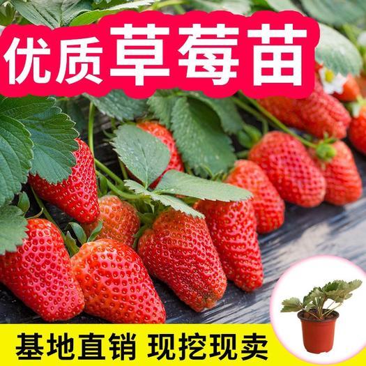 平邑县 奶油草莓苗  可盆栽可地栽  包成*  包结果   包甜!