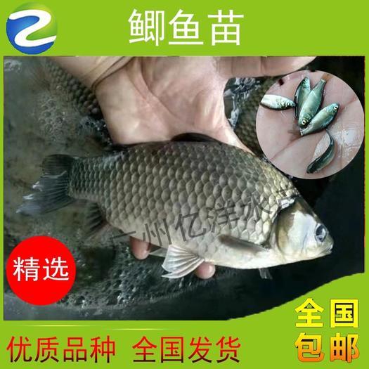 廣州 中科3號鯽魚苗  超級鯽魚苗 工程鯽魚苗 高產快大
