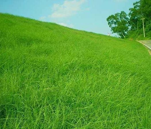 宿迁沭阳县 护坡草坪种子百喜草种子景观草籽根系发达护堤护坝 包品种 包