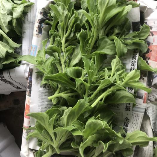 菏泽巨野县 优质非洲冰草,基地直供现采现发。多个基地可常年供货!