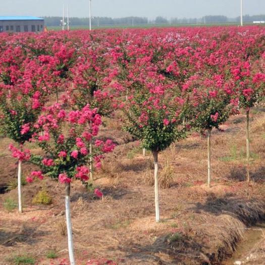 廣元蒼溪縣 紫花紫薇風景樹,粗度兩公分以上,高度1.5到2米