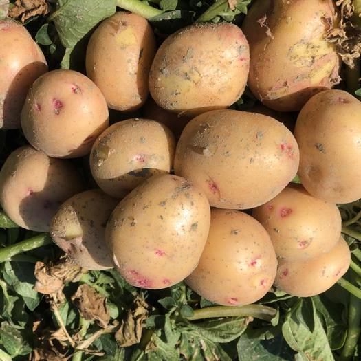 盈江縣 精品電商土豆絕對是您首選,確認過眼神了就它了