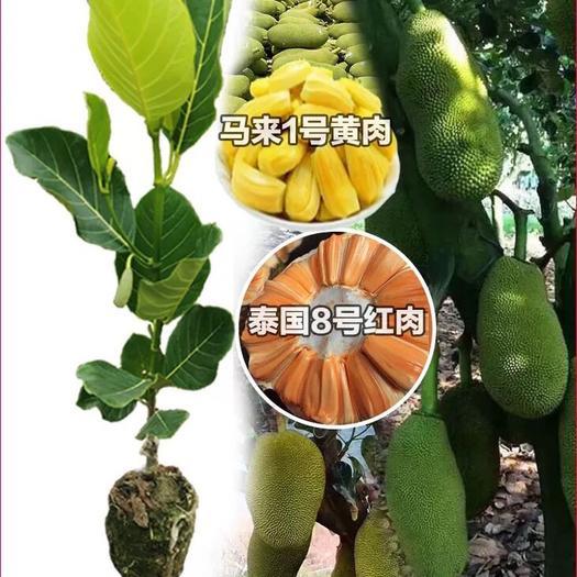 揭阳普宁市红肉菠萝蜜苗 泰国红肉菠萝蜜袋苗正品口感好株形美观 高产量红肉果实甜