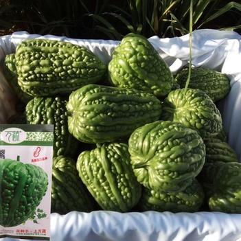 大顶苦瓜种子万蔬大顶苦瓜黑籽高产商品率高标准瓜多抗病基地