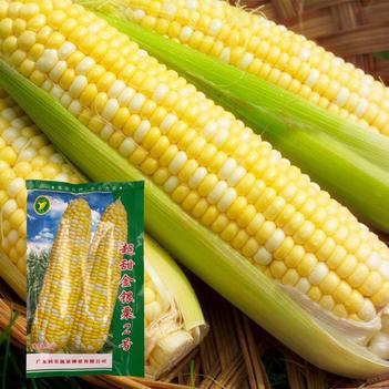 金银粟水果玉米种子粤蔬牌超甜金银粟2号玉米种子正品保证高产