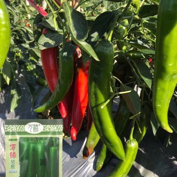 辣椒种子青皮青椒种子万绿早椒种子早熟抗病耐寒耐湿大田基地