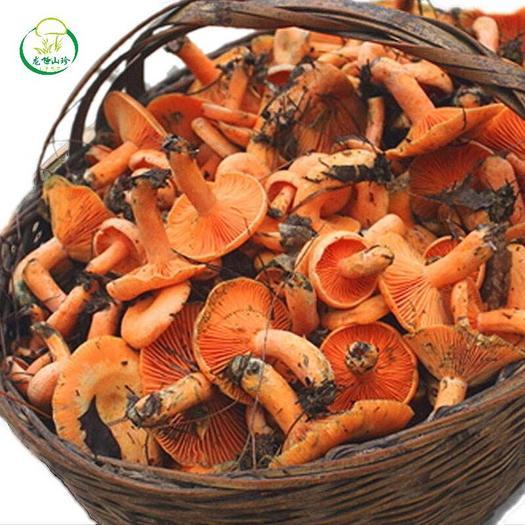 深圳宝安区 松树菌,寒菌,枞菌
