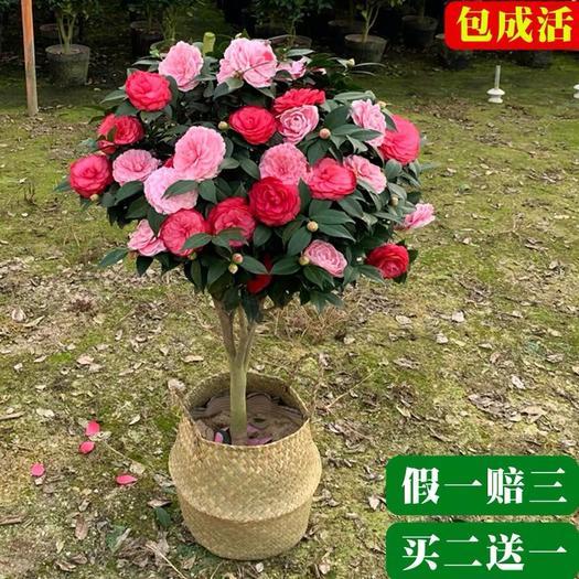 平邑县 精品茶花苗  品种齐全  四季开花  带花苞发货