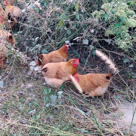 佛山南海区 土鸡、清远鸡