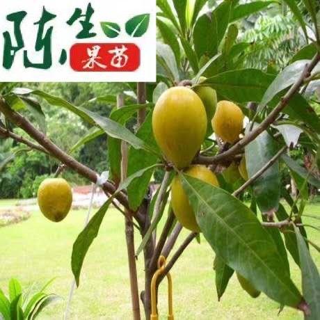 钦州灵山县树蛋果苗 鸡蛋果苗    庭院阳台可盆栽