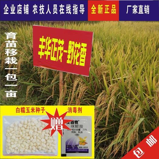 成都大邑县野花香 水稻杂交种子 高产 抗倒抗病 米饭香优质长粒米 一袋800克