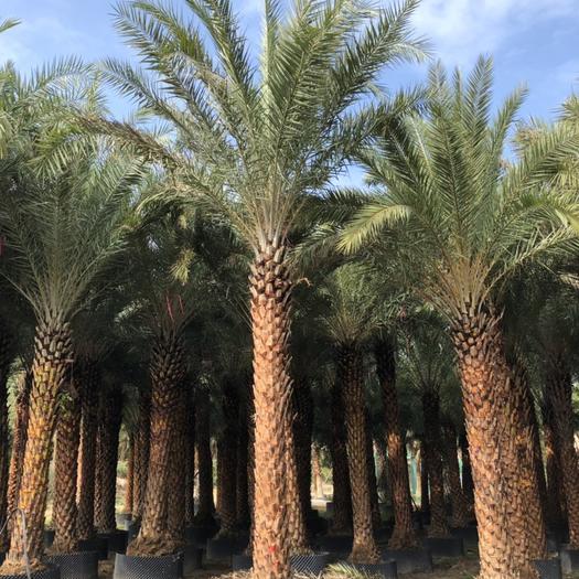 漳浦縣 基地直銷中東海棗 棕櫚類植物
