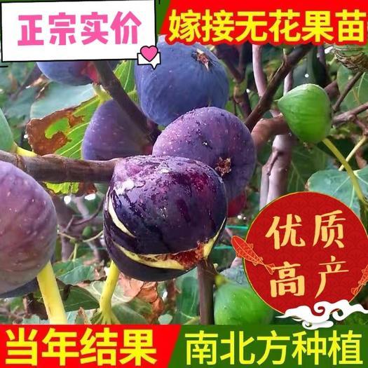 上海崇明波姬红无花果苗 高产无花果苗 当年结果包成活 包品种
