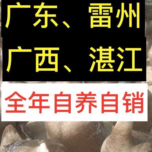 南宁西乡塘区 商品鹅,黑狮,大白沙,吃草喂养鹅,13一15斤,全年有供应