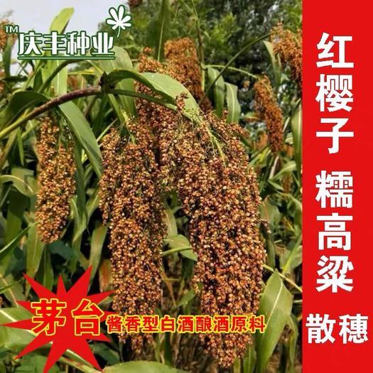滄州東光縣 紅櫻子紅糯高粱種子 茅臺釀酒原料 高產矮生 抗旱高產釀酒高粱