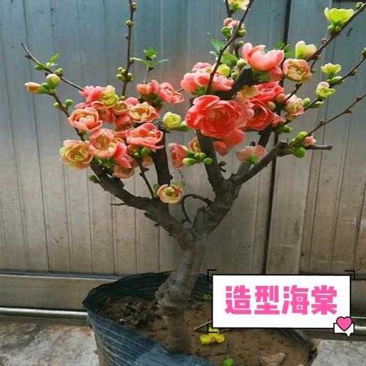 上海崇明 精品造型海棠盆栽地栽 帶花苞耐寒