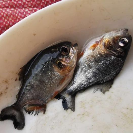 茂名高州市 白鲳鱼苗/红腹鲳鱼优质快大型