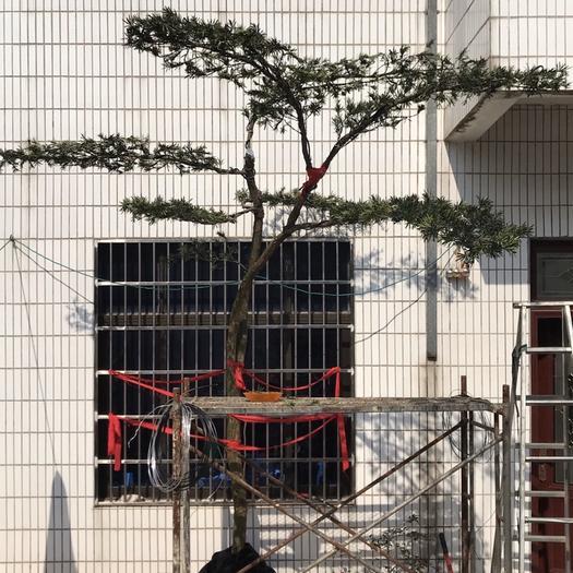 蘇州吳中區造型松樹 造型羅漢松