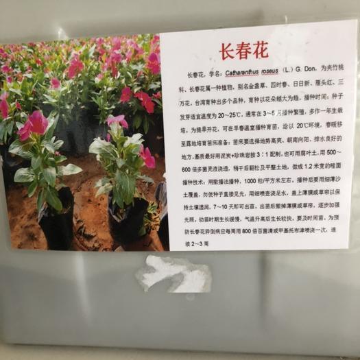 宿迁沭阳县 长春花种子