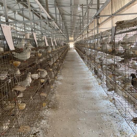 玉林陸川縣肉鴿 中鴿