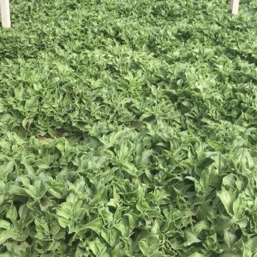 菏泽巨野县 优质冰草,基地直供,现采现发.常年有货.有质有量.
