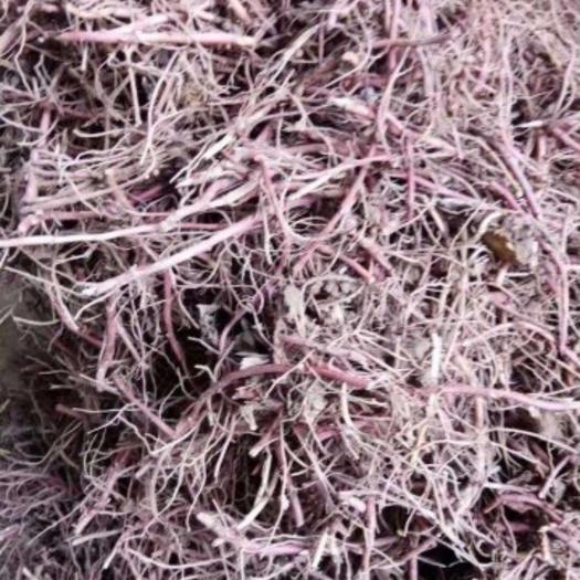 亳州譙城區紫菀 芽,提供種植技術指導,回收產品