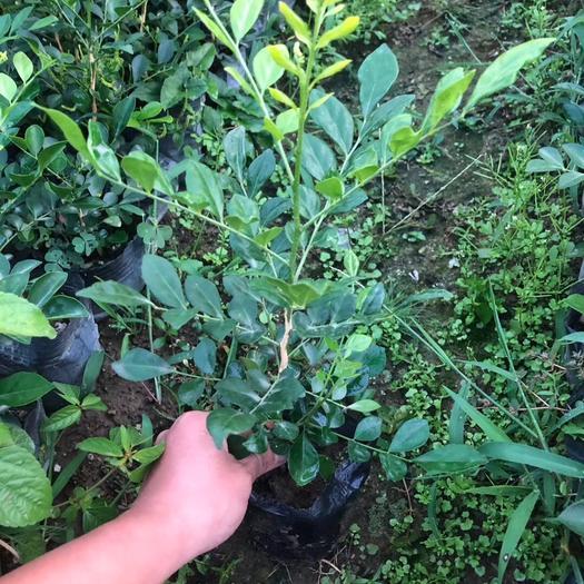 揭陽普寧市 九里香袋苗多分枝四季常青 枝葉秀麗 花香濃郁圍籬苗易活