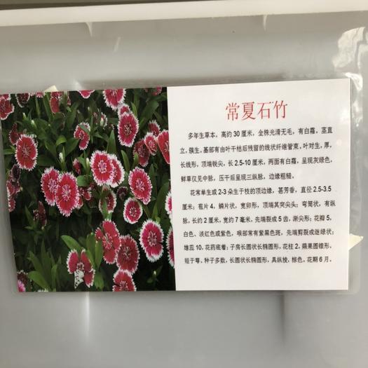 宿迁沭阳县 常夏石竹种子