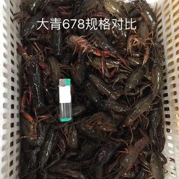 潜江小龙虾6789大青大红鲜活批发 青壳红壳分拣出来 干净