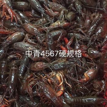 456规格小龙虾全国包邮批发 中青中红 清水虾干净饱满硬规